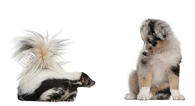 Using Grooming Services To Remove Skunk Odor