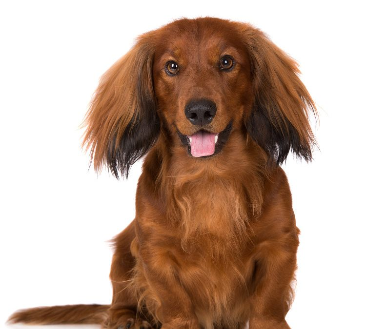 Everything You Need To Know About Managing A Long Haired Dog