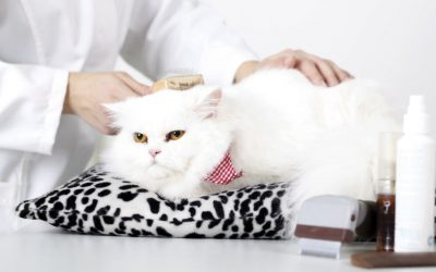 Salon Or Mobile Grooming For Your Furry Feline?