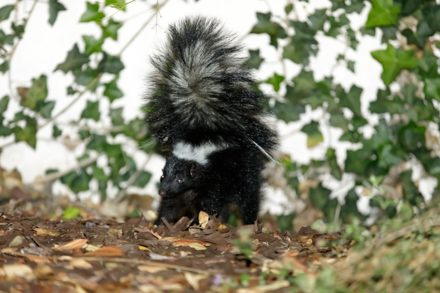 Dog Sprayed By A Skunk? Here's What You Need To Know